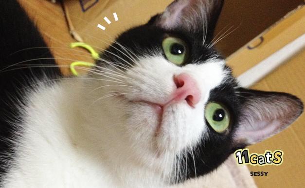 何かに気づく猫の画像(11Cats セッシー)