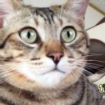 【11Catsストーリー】コクロコの娘 ぽっちゃり美人猫ココクー