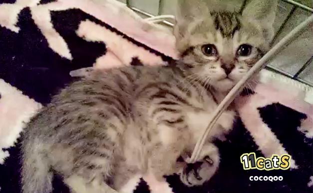 コードで遊ぶ子猫の画像(11Cats ココクー)