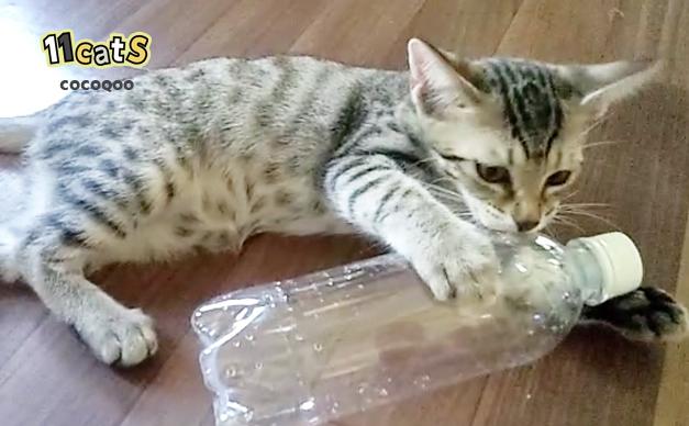 ペットボトルを舐める子猫の画像(11Cats ココクー)