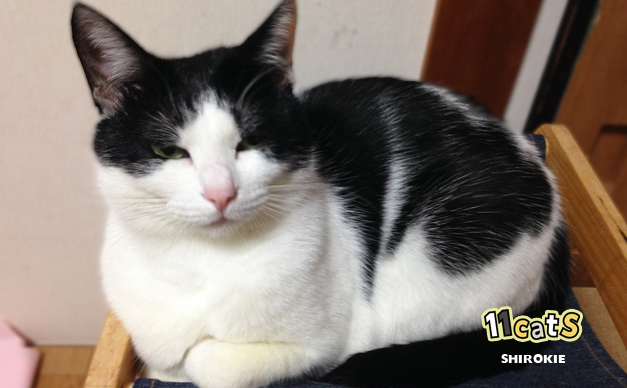 箱座りをする猫の画像(11Cats シロキー)