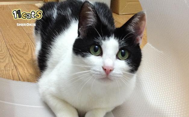 獲物を狙う猫の画像(11Cats シロキー)