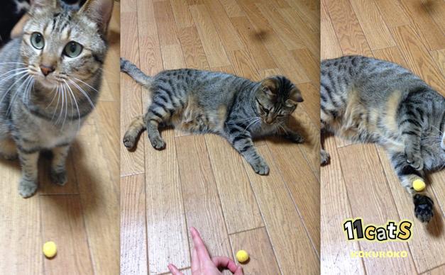 ボールで遊ぶ猫の画像(11Cats コクロコ)