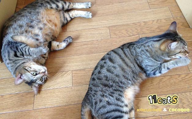 そっくりな猫の親子の画像(11Cats コクロコ&ココクー)
