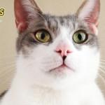 日本で人気の猫の種類ランキング ベスト5