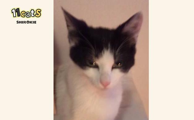 虚ろな目の猫の画像(11Cats シロキー)