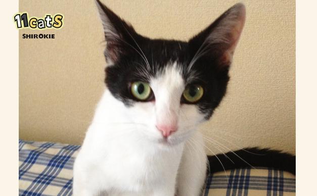 少し元気になった猫の画像(11Cats シロキー)