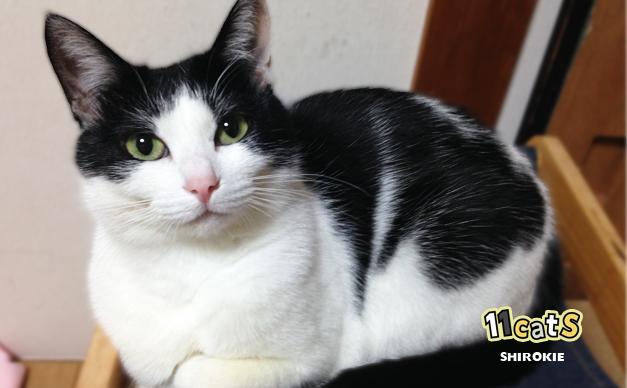 ぽっちゃり猫の画像(11Cats シロキー)