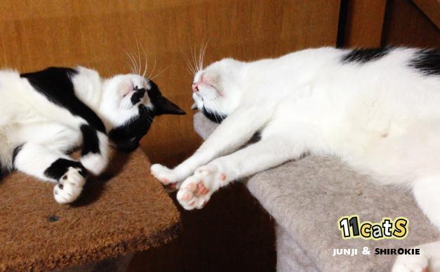 眠る猫の親子の画像(11Cats シロキーとジュンジ)