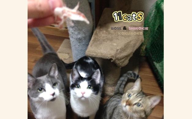 おやつを見つめる猫の画像(11Cats ボスとシロキーとコクロコさん)