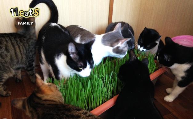 猫草を食べる猫の画像(11Cats ファミリー)
