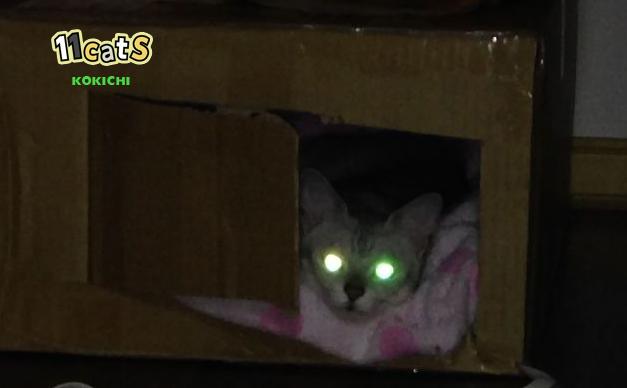 目が光る猫の画像(11Cats )