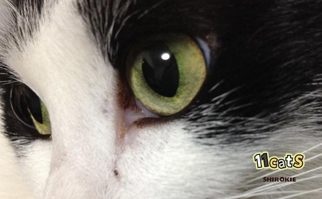 猫の画像(11Cats シロキー)
