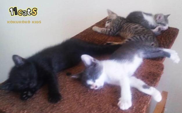 キャットタワーで寝る子猫の画像(11Cats ココクー、クロニャン、レパニャン、ボス)