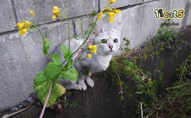 猫の画像(11Cats コキチ)