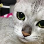 知ってる? シルバー系の猫がなりやすい病気と治療法