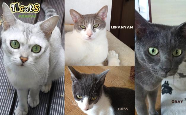シルバー系猫の画像(11Cats コキチ,レパニャン,ボス,グレイ)