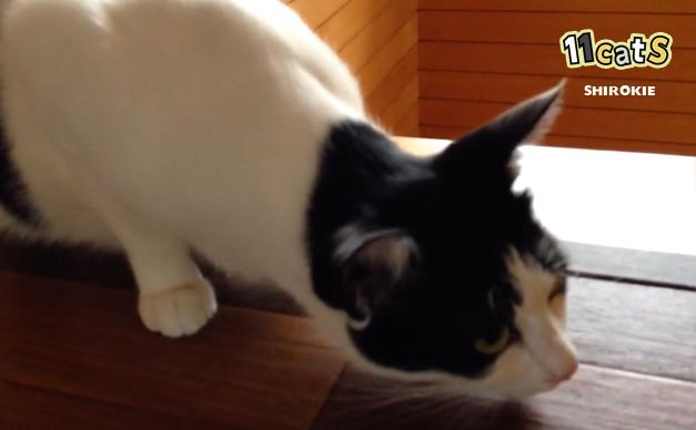 咳をする猫の画像(11Cats シロキー)