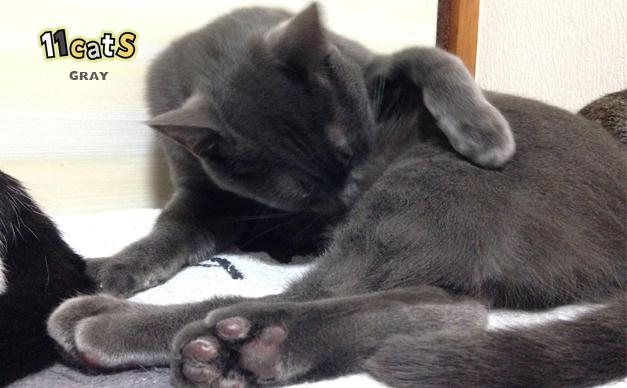 毛づくろいする猫の画像(11Cats グレイ)