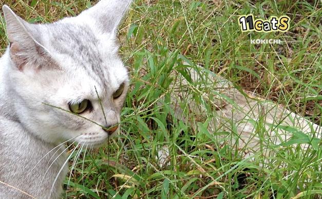 散歩中の猫の画像(11Cats コキチ)