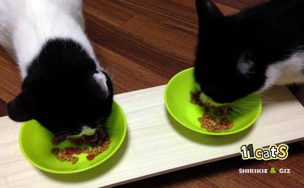 食事中の猫の画像(11Cats シロキー,ギズ)