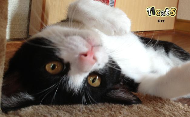 【11Catsストーリー】ブサイクだけどカワイイ! アイドル猫のギズ