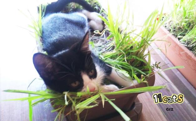 猫草の上で寝る画像(11Cats ギズ)
