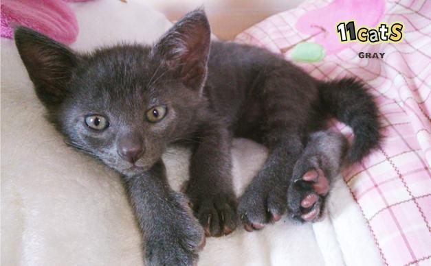 子猫の画像(11Cats グレイ)