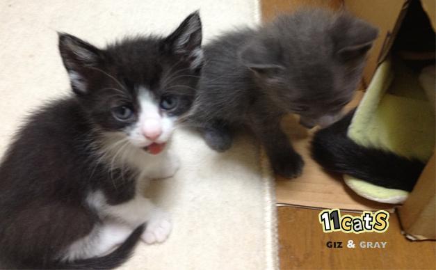 子猫の画像(11Cats ギズとグレイ)