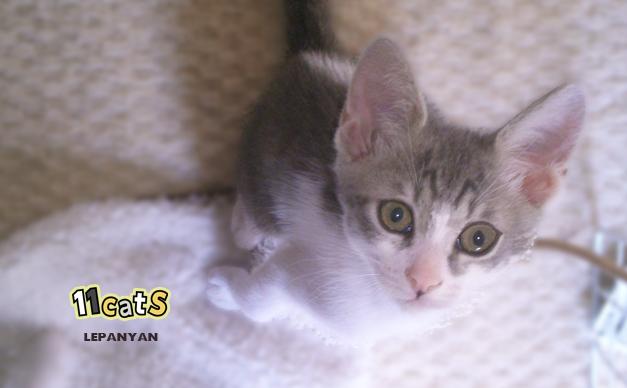 子猫の画像(11Cats レパニャン)