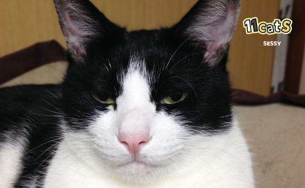 眠そうな猫の画像(11Cats セッシー)