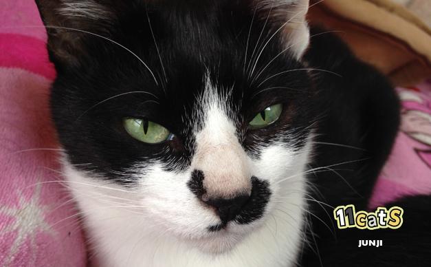 さいさつをする猫の画像(11Cats レパニャン)