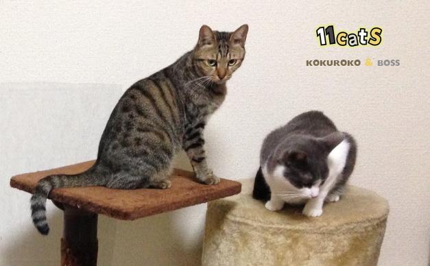 キャットタワーに登る猫の画像(11Cats コクロコ&ボス)