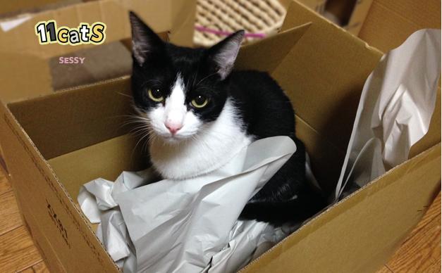 ダンボールに入ってる猫の画像(11cats セッシー)