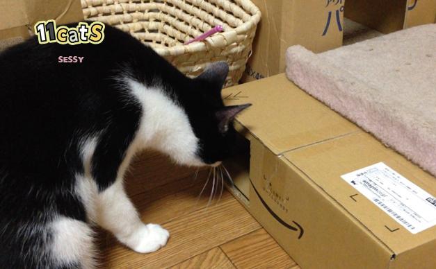 ダンボールを覗く猫の画像(11cats セッシー)