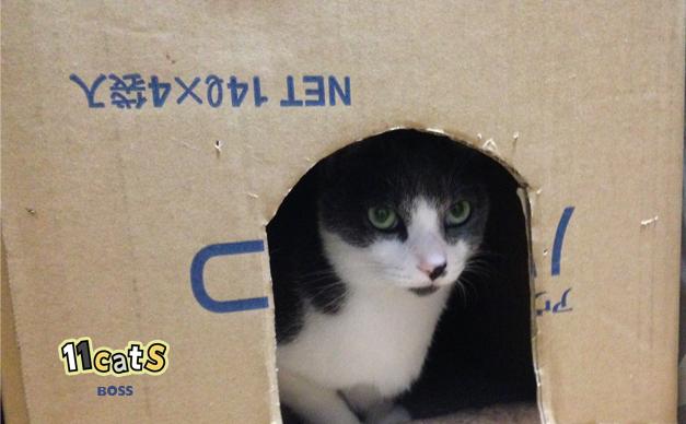 ダンボールに隠れる猫の画像(11cats ボス)