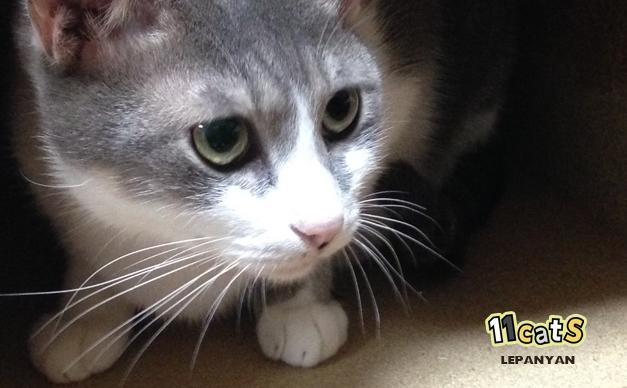 ダンボールに隠れる猫の画像(11cats レパニャン)
