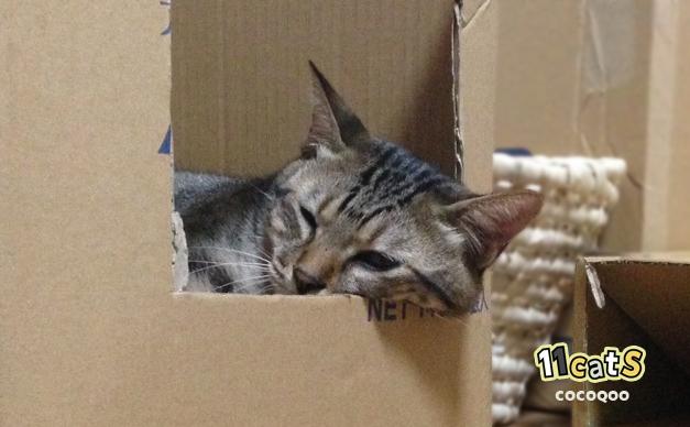 ダンボールで寝る猫の画像(11cats ココクー)